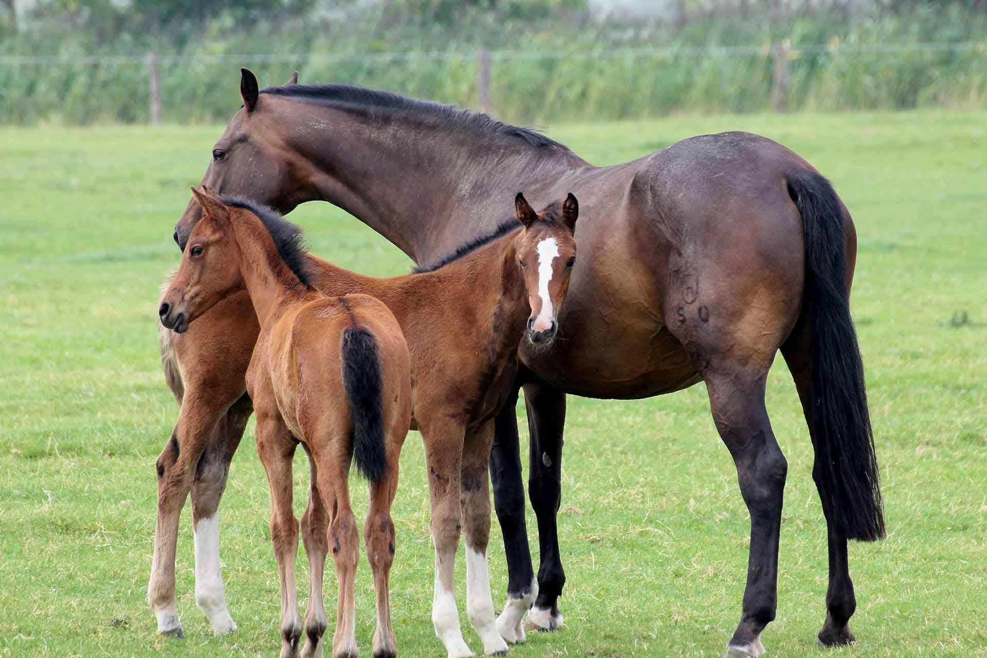 cheval_foal_mfr_noyant