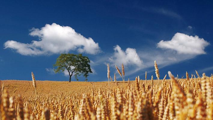 champ-ble-agriculture-btsa_acse_noyant_de_touraine
